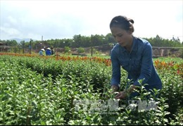 Người trồng hoa Tết lo lắng khi thời tiết bất lợi