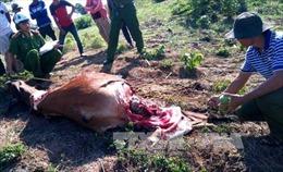 Bắt nhóm trộm bò, xẻ thịt lấy đùi