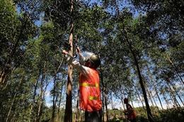 Chính phủ Úc hỗ trợ quản lý rừng và thương mại gỗ hợp pháp