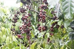 Người trồng cà phê ở Hướng Hoá trúng giá vụ Tết