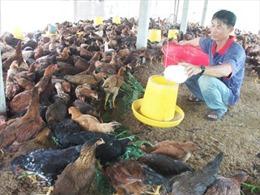1.000 con gà ta Gò Công tiêu chuẩn VietGap phục vụ Tết mỗi ngày