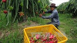Australia đồng ý nhập khẩu thanh long tươi từ Việt Nam