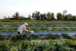 Hối hả thuê đất trồng dưa hấu vụ Tết