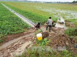 Mưa trái mùa, nông dân Bà Rịa-Vũng Tàu thiệt hại nặng nề