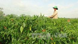 Tái cơ cấu nông nghiệp theo hướng phát triển sản xuất quy mô lớn