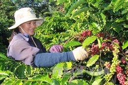 Giá cà phê, cao su được mùa Tết