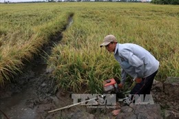 Hơn 700 ha lúa ở Hậu Giang bị đổ ngã do mưa lớn