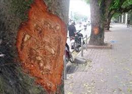 Không phải lần đầu cây xà cừ trên đường Láng bị đẽo vỏ