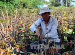 Dịch vụ chăm sóc mai tại vườn ở TP. Hồ Chí Minh tăng giá