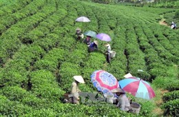 Hơn 220 tỷ đồng phát triển thương hiệu chè Thái Nguyên