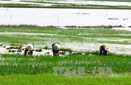 Hàng nghìn ha lúa bị hư hỏng do rét và ngập úng