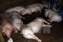 Ngành nông nghiệp lo ngại trâu, bò, lợn bị bơm nước; tôm bị bơm hóa chất