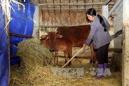 Nghệ An cấp bách chống rét cho đàn gia súc