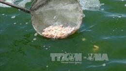 Tôm chết hàng loạt tại Trà Vinh do thời tiết bất lợi