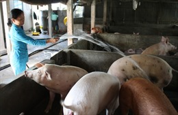 Xốc lại ngành chăn nuôi lợn