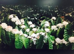 Hoa cà phê nở trắng ngần như 'bông tuyết' trên cao nguyên Đắk Lắk