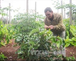 Lợi kép khi trồng xen cây ăn quả lâu năm trong vườn cà phê
