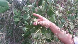 Dịch bọ xít muỗi hoành hành, người trồng điều thất thu hàng trăm tỷ đồng