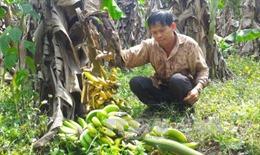 Đồng Nai thành lập ban chỉ đạo hỗ trợ tiêu thụ chuối cho nông dân