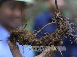 Điều tra vụ mất trộm hơn 500 gốc sâm Ngọc Linh tại Quảng Nam