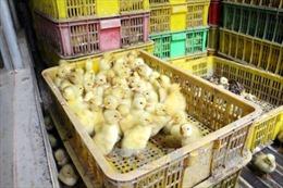 Dịch cúm bùng phát, vẫn ngang nhiên buôn bán gà vịt lậu