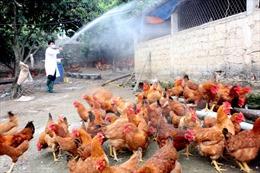 Xuất hiện ổ dịch cúm gia cầm A/H5N6 ở Hà Nam