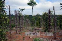 Dịch bệnh trên cây tiêu lan rộng, nông dân thiệt hại nặng
