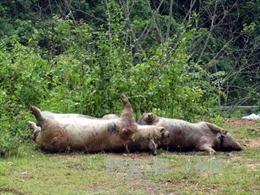 Tuyên Quang: Lợn chết nằm la liệt ở bờ sông