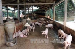 Đàn lợn tại các doanh nghiệp chăn nuôi lớn ở Đồng Nai vẫn ổn định