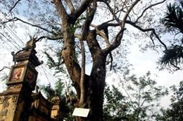 Chính quyền và người dân Bắc Ninh đồng thuận bán cây Sưa 200 tuổi