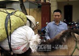Dùng ngựa thồ chở hàng chục cân quả cây thuốc phiện khô từ Lào về Việt Nam