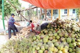 Giá dừa khô tại Tiền Giang tăng mạnh