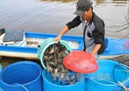 Cơ hội và thách thức khi tái cơ cấu ngành tôm ở Cà Mau