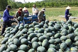 Bà Rịa - Vũng Tàu: Dưa hấu chỉ 3.000 đồng/kg, người trồng lỗ nặng