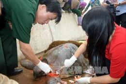 Rùa biển quý hiếm trăm tuổi bị thương trôi dạt vào bờ