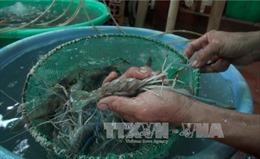 Chênh lệch nhiệt độ giữa ngày và đêm quá cao gây thiệt hại gần 400 ha tôm tại Trà Vinh