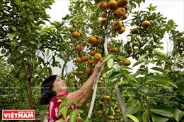 Đồng Tháp: Liên kết tiêu thụ nhiều loại trái cây đặc sản