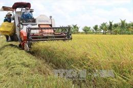 Giải quyết điểm nghẽn cho nông sản vào vụ -Bài 1: Thiếu nhân công thu hoạch, sơ chế