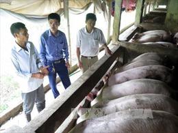 Mô hình nuôi lợn gia công 'sống khỏe' bất chấp giá lợn hơi giảm kỉ lục