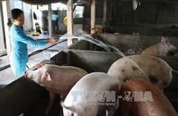 Bến Tre: Đề xuất ngân hàng khoanh nợ cho người chăn nuôi