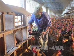 Thu hàng tỷ đồng từ nuôi gà theo công nghệ chuồng kín
