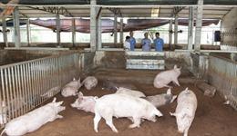 Bài 3: Đương đầu với 'bão' giá lợn