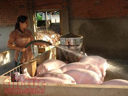 Tiêu thụ lợn đã tăng gấp 2 lần so thời điểm 'giải cứu'