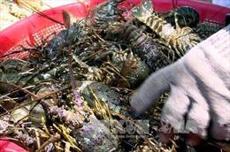 Ô nhiễm môi trường nuôi, nguy cơ tôm hùm ở Phú Yên chết hàng loạt