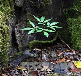 Sau cuộc rượu, 'trôm' hơn 70 cây sâm Ngọc Linh của gia chủ