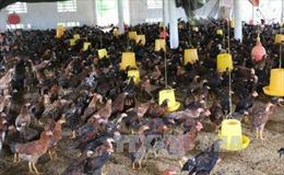 Người nuôi gà ở Trà Vinh 'treo chuồng' vì thua lỗ nặng