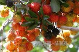 Nhà vườn Trà Vinh thất thu lớn vụ trái cây đặc sản
