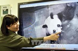 Gấu trúc khổng lồ ở Nhật Bản sinh con lần đầu từ năm 2012