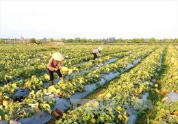 Tìm phương thức ưu việt về tích tụ ruộng đất - Bài 2: Bứt phá từ tích tụ
