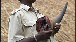Nam Phi bắt giữ vụ vận chuyển 63 kg sừng tê giác tại Sân bay Quốc tế O.R. Tambo